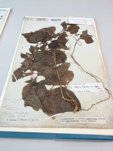 Solanum tuberosum, collected by Darwin on the Chonos archipelago, off the coast of Chile: Henslow has a question mark as to the exact date in December 1834.