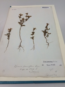 Small and tall samples of Zinnia paucifolia collected by Darwin at the Cape Verde Islands.