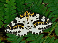 The magpie moth.