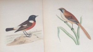 A stonechat (left) and bearded tit (right): I haven't yet found what book they came from.