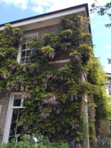 Wisteria sinensis covers a building in the Cambridge University Botanic Garden.