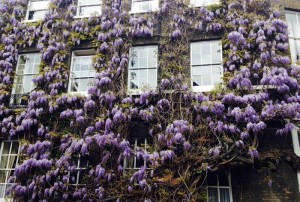 The spectacular Fuller's wisteria.
