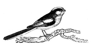 Bewick's long-tailed tit.