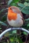 Robin cropped