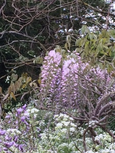 Wisteria on 14 May, almost dwarfed by the surrounding cow parsley.