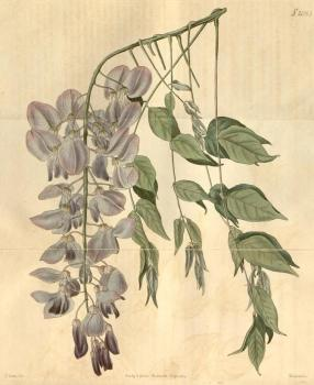 Wisteria sinensis, from Curtis's Botanical Magazine, 1819.
