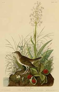 This Audubon plate shows C. canadensis berries.