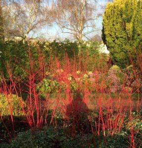 Red cornus stems in the Winter Garden last January.