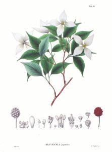C. kousa, described as Benthamia in 1870.