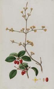 Cornus mas, from Sibthorp and Smith's Flora Graeca (1813).