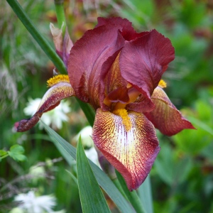 Iris 'Kent Pride'. (Credit: Nick Bailey, the excellent though Frustrated Gardener.)