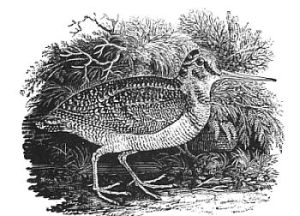 The woodcock, by Thomas Bewick.