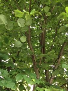 My hazel tree in full leaf.