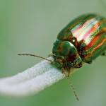 The spectacular but evil rosemary beetle.