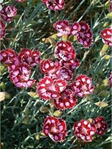 Dianthus 'Sops in Wine'. (Credit: The Beth Chatto Garden)
