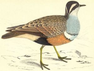 A dotterel, from the Revd F.O. Morris's History of British Birds (1880).