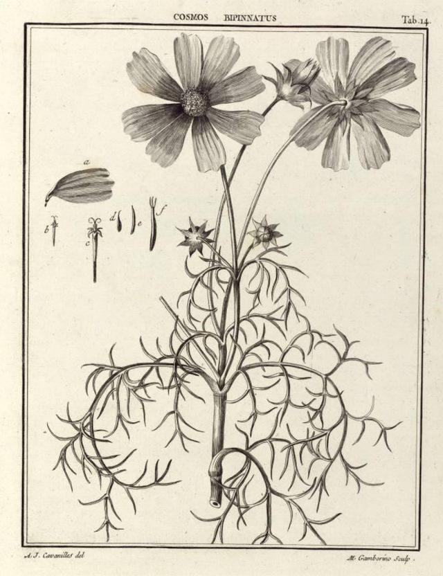 Cosmos bipinnatus, from Cavanilles' Icones plantarum.