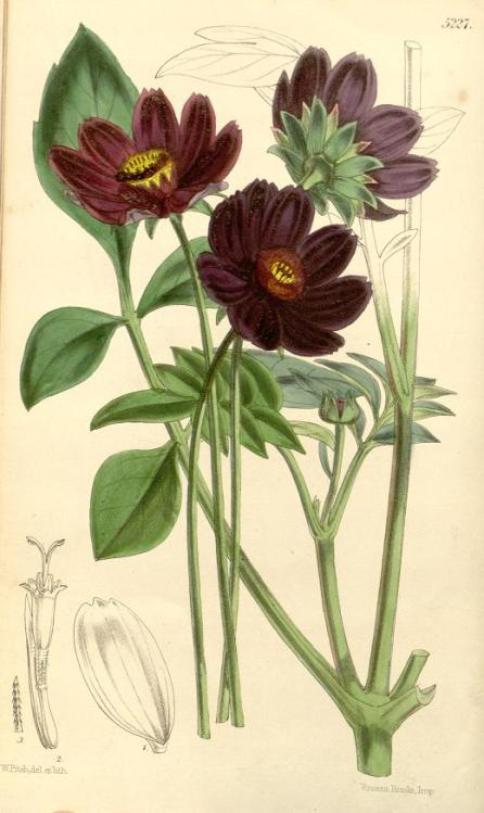 Plate showing chocolate cosmos, from Curtis's Botanical Magazine, January 1861.