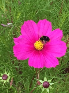This bee obligingly posed at CUBG.