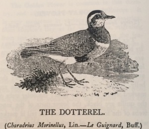 The Dotterel, by Thomas Bewick, in his History of British Birds.