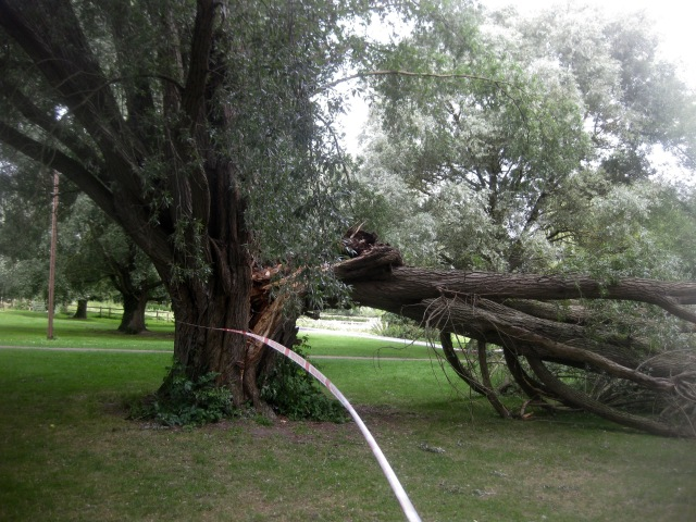 An ancient willow tree, recently torn in two by the wind.
