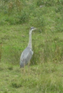 A (somewhat out-of-focus) heron by one of the boggy rivulets on Sheep's Green.