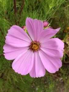 A paler shade of pink.