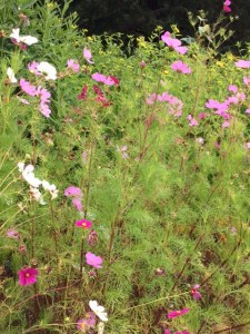 Mixed Cosmos in a prairie planting.