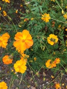 Cosmos sulphureus can be quite orange ...