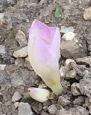 Meanwhile, outside, the first autumn crocus, showing why one of their traditional names is 'naked ladies'.