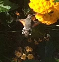 ~The eye of faith can just about see a humming-bird hawk moth among the lantana flowers.