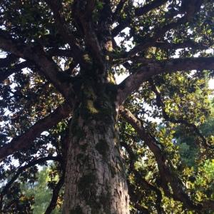 Magnolia grandiflora 1786