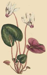 Cyclamen persicum, as illustrated in the sixth edition of Philip Miller's Gardener's Dictonary.