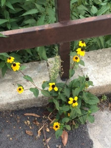 Meanwhile, this rudbeckia has escaped and is flowering on a pathway near the river.