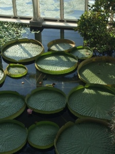 Victoria regia waterlilies, about to flower ...