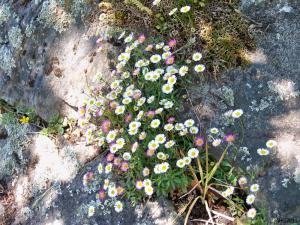 Erigeron flourishing among rocks in summer ...