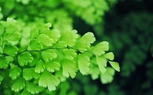 Adiantum capillus-veneris, the leaves of which are lobed like the ginkgo.