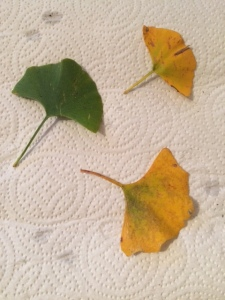 Leaves picked up from around the tree below: only one of them actually shows the characteristic bilobed form.