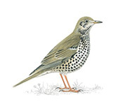 The mistle thrush. (Credit: RSPB)