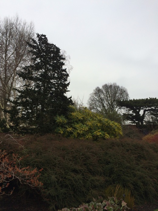 A mahonia in the Winter Garden at Cambridge University Botanic Garden.