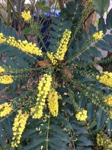 Mahonia flowers.