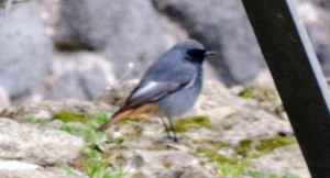 My first ever sighting of a black redstart!