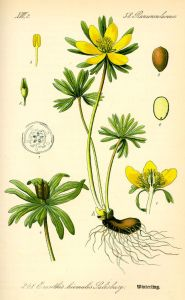 An early nineteenth-century botanical illustration, showing the plant, with Salisbury as the namer.