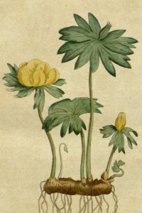 Eranthis on a plate from Curtis's Botanical Magazine, 1787.