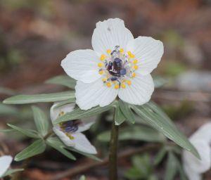 Eranthis pinnatifida, a gorgeous white variety endemic to Japan.