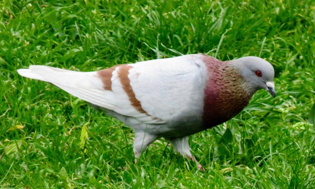A modern pigeon at Pompeii.
