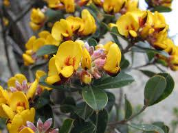 Pultenaea daphnoides, the Australian bush pea.